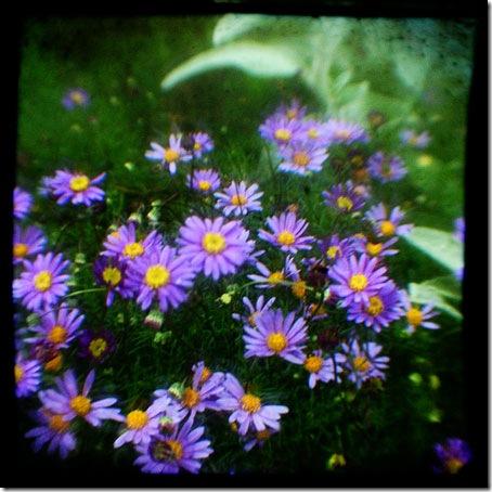 purpledaisies